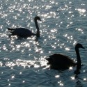 Swans only have one partner for their whole life if their partner dies they could pass away from broken heart
