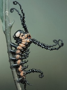 6.	Brahmin-Moth Caterpillar