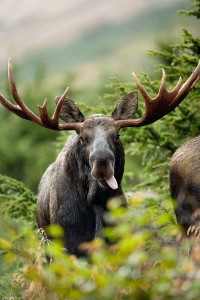 In Fairbanks, Alaska, it's against the law to get a moose to drink alcohol