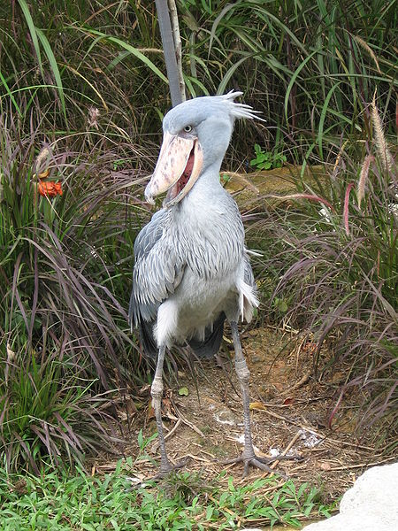 Birds : the Shoe-Billed Stork