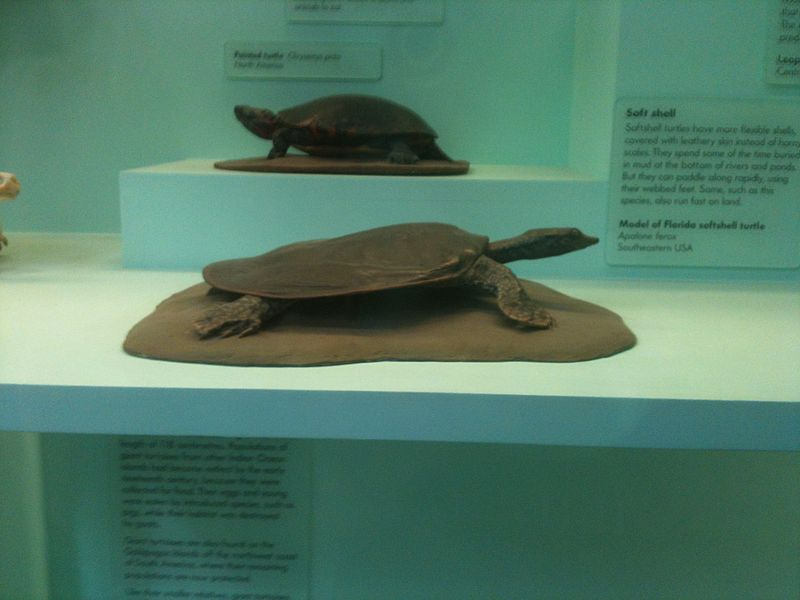 Reptiles : the Soft-Shelled Turtle