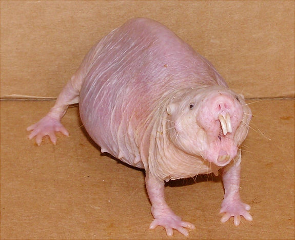 Mammals: the Naked Mole Rat