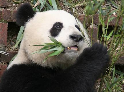 The pandas you see outside China are there only as a loan
