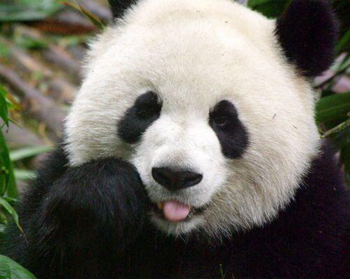 Panda Nanny