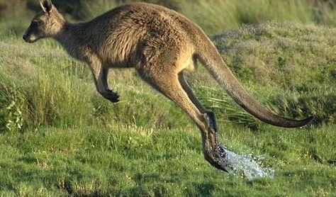 Kangaroos Austraila